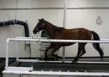 Horse cantering on a treadmill